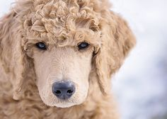 Everything About The Eager Poodle Puppies Health Apricot Standard Poodle, Standard Poodles, Poodle Mix, Poodle Cuts, Poodle Puppies, Pomeranian Dogs, Lab Puppies, Poodle Haircut Styles, Purebred Dogs