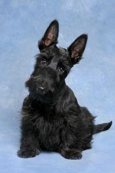 65. Terrier Escocés | Pertenece al grupo de Terriers. Altura promedio: Hasta 25.4 cm al hombro. Peso promedio: 8 a 10 kg.