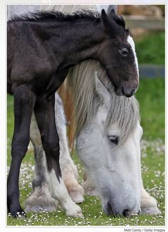 Equine - Mare and foal grazing.
