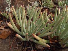 H20140227-0544—Dudleya virens ssp hassei—RPBG | Flickr - Photo Sharing!