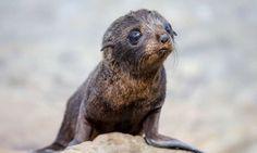 Fur seal pup, Kaikoura, New Zealand (Abercrombie & Kent)