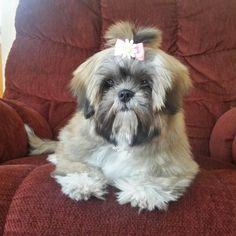 Coco Shih Tzu puppy