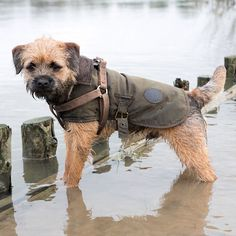 A exploratory #BorderTerrier getting muddy paws...  #dog #river