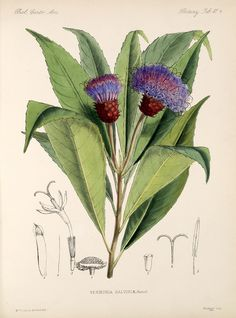 Vernonia, William Hemsley, Botany, 1879-1888 --- modern Bluet (Centaurea Montana)???