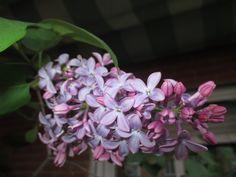 Mi lilo en la primavera del 2015.-