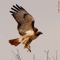 Red-tailed Hawk Jumps - Copyright 2008 by J R Compton. All Rights Reserved. No Reproduction in Any Medium Without Specific Written Permissio...