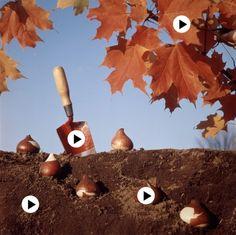 In de herfst plant je de bloembollen voor in het voorjaar. Bloembollen planten by Juf Liesbet