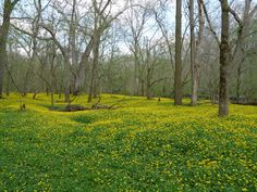 Small yellow forest flowers. Nature.