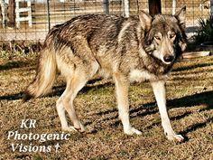 Tala Gray Wolf is Flower's mom. Tala is a timberwolf.
