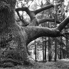 Fototapet - Mighty Oak - b/w