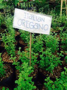 Italian Oregano Spices, Herbs, Spice, Herb, Medicinal Plants