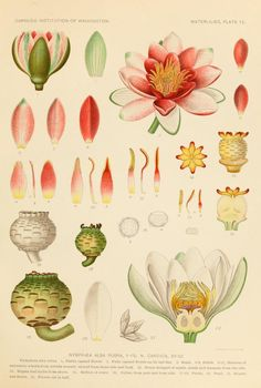 1905: The waterlilies: - Biodiversity Heritage Library
