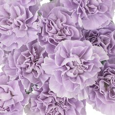 Bulk Lavender Light Purple Carnation Flowers are a traditional flower with a ruffled, ball-shaped bloom. Our award winning Carnation flower is shipped fresh and direct from our Ecuadorian or Colombian partner flower farms to your doorstep. FedEx shipping included in price!