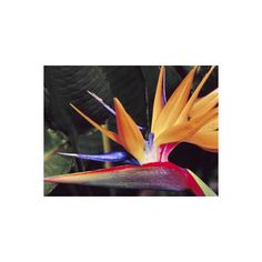 Bird of Paradise, Maui, Hawaii, USA Photographic Wall Art Print (165 RON) ❤ liked on Polyvore featuring home, home decor, wall art, floral & botanical, floral & botanical by type, flowers, flowers by species, subjects, floral posters and photographic wall art