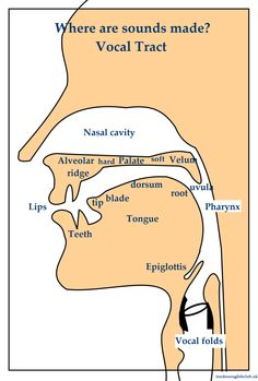 Vocal tract. Basics of Phonetics