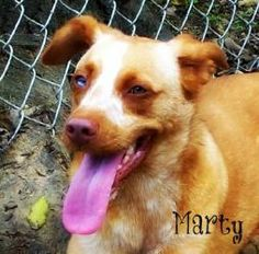 Marty is an adoptable Australian Shepherd Dog in Amory, MS. MALE NEUTERED UTD ON VACCINATIONS AUSTRALIAN/LAB MIX Marty was found roaming around in Amory, MS. He is very social and loves people. He i...