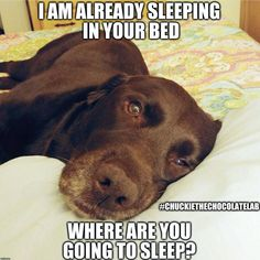Chuckie the Chocolate Lab #funnypuppylab