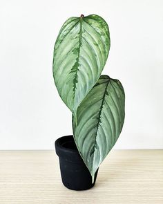 Nina Telega (@ninjaleeu) • Instagram photos and videos Potted Plants, Indoor Plants, Easy House Plants, Leaf Projects, Barbie Dream House, Tropical Plants, Plant Care, Plant Decor, Houseplants