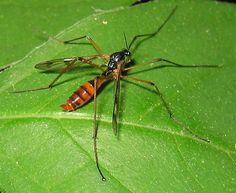 Family Ptychopteridae - Phantom Crane Flies - Ptychoptera quadrifasciata - female
