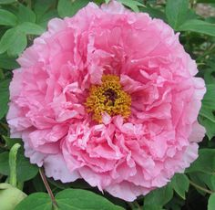 """Paeonia Suffruticosa """"Rou Fu Rong"""" tree peony in full bloom. A mature plant can boast in excess of a hundred exotic blooms, each measuring up to 25cm (10ins ) or more in diameter"""