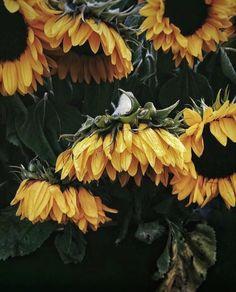 soulmate24.com Photo #sunflowers #flowers #nature #beauty #rain