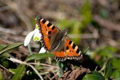 Schmetterling  #Schmetterling #Butterfly #Admiral #Frühling #Schönheit #Nikon #Garten #Schneeglöckchen Moth, Nikon, Insects, Animals, Garten, Animales, Animaux, Animal Memes, Animal