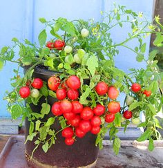 Kelley's and Arti's Plants: Tomatoes - New 2012 Varieties