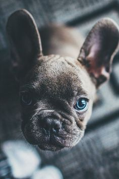Blue French Bulldog Puppy