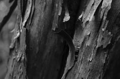 Manuka (New Zealand native tea tree) bark. From the manuka tree comes viscous honey that is highly antibacterial.  This particular tree grows on the hill above my aunt's farm.   I used monochrome for this image as I wanted to emphasise the texture which was particularly interesting - rather like torn paper.
