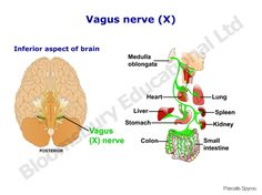 Vagus nerve is an important nerve of the body that is vulnerable to damage and destruction due to its widespread course in the body. Knowing the causes and symptoms of vagus nerve disorders and damage can help treat the conditions more effectively.