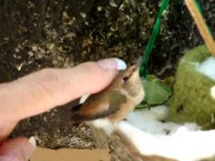 This is story of how a man-made hummingbird's nest was fashioned to save a hummingbird family from near disaster. The original nest was infested with bird mites which drove the baby chicks to abandon their nest. One of the baby hummers fell to the. Humming Bird Feeders, Humming Birds, Flowers That Attract Hummingbirds, Hummingbird Nests, Baby Chicks, Hummer, Bird Houses, Walkway, Feathers