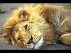 Hij is de rots Lion, Meet, Animals, School, Music, Leo, Musica, Animales, Musik