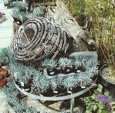 Beautiful coastal planting idea, blue chalk succulent in store at harmony
