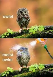 Image result for angry owl meme