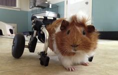 Guinea Pig With Crushed Spine Was Left on the Side of the Road. Now She�s Got a New Set of Wheels!