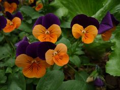 Johnny-Jump Ups aka Viola are my favorites for Fall. The Orange and Purple combo is my pick! Johnny Jump Up Flowers, Planting Fruit Trees, Outside Plants, Garden Journal, Violets, Orange And Purple, Yard Ideas, Pansies, Dog Friends