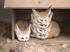 "animal-factbook: ""Fennec Foxes are highly social creatures with a rigid social hierarchy. When a pack of Fennec Foxes rest, they form what is often called a ""Fennec Stack"" with the alpha fox on the. Cute Funny Animals, Funny Animal Pictures, Cute Baby Animals, Animals And Pets, Cute Pictures, Hilarious Animal Memes, Funny Foxes, Funny Photos, Strange Animals"