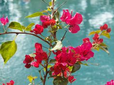 Bouganvilla by the pool
