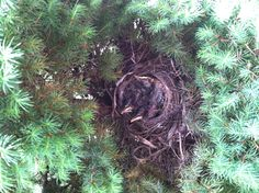 Another picture of baby birdies.        5-29-13