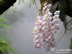 rare Phalaenopsis Pulchra | ORQUÍDEAS RARAS - 2 - rare orchids