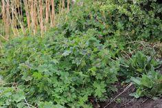Denne plante granium Phaeum eller storkenæb er god til at få udryddet skvalder kål med