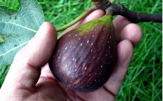 The Brown Turkey Fig Tree is one of the most cold hardy varieties of fig, surviving single digit Fahrenheit temperatures.