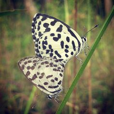 Mating pair of common pierrot  #butterfly #butterflies #nature #natgeo#macro_captures #macromood #macrophotography #wild #macroworld