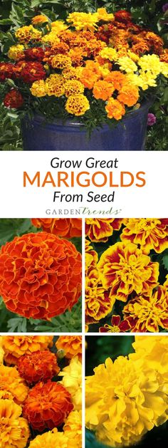 Marigold flowers are cheerful, hardy, and easy to grow. They're a great plant for children to grow as well. African marigolds are beloved for their bright large, fully double flower heads, and French marigolds are bushy and compact with small flowers and a neat overall appearance. Click here to check out our triploid varieties that are crosses between French and African types of Marigolds! #gardentrends #flowers #flowergarden #marigolds