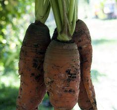 Seminte Morcovi Eggplant, Seeds, Vegetables, Flowers, Food, Salads, Essen, Eggplants, Vegetable Recipes