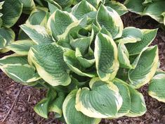 Add impact to your shade garden with 'Formal Attire', a big hosta that grows 30 inches wide and offers dark blue-green leaves with a wide creamy-white edge.Size: 30 inches tall and wideZones: Resistant: NoFlowers: Lavender purpleYear Introduced: 1988 Shade Garden Plants, Hosta Plants, Shaded Garden, Shade Perennials, Garden Planters, Potted Plants, Lavender Flowers, Purple Flowers, Plantain Lily
