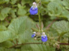 Salvia procurrens Salvia rastrera (cubresuelo) _ Plantas Nativas de Buenos Aires y alrededores