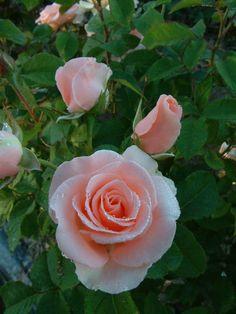 'Malaeca' | Hybrid Tea rose