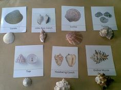 Montessori Zoology: Sea Shells part cards) - idea - have 3 part cards with REAL objects Montessori Science, Montessori Classroom, Preschool Science, Montessori Kindergarten, Preschool Ideas, Teaching Ideas, Sharing A Shell, Ocean Unit, Matching Cards