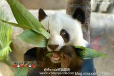 World's Oldest Living Panda Welcomes Her 35th Birthday http://www.visiontimes.com/2015/05/25/worlds-oldest-living-panda-welcomes-her-35th-birthday.html